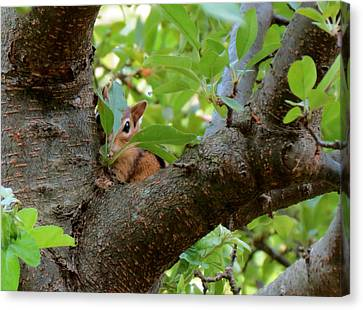 Peeking Chipmunk Canvas Print