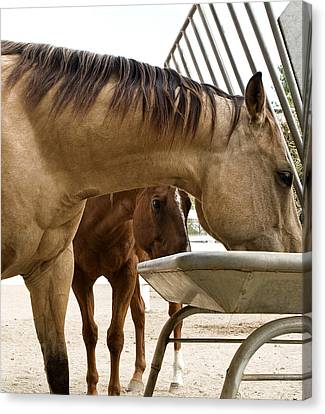 Canvas Print featuring the photograph Peeking Pony by Lorraine Devon Wilke