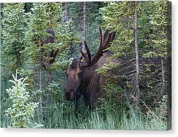 Canvas Print featuring the photograph Peeking Through The Spruce by Doug Lloyd