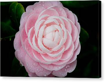 Pefectly Pink Canvas Print by Rich Franco