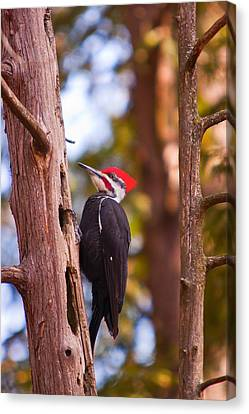 Canvas Print featuring the photograph Peliated Woodpecker by Josef Pittner