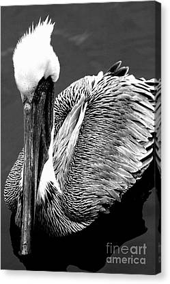 Pelican . 7d8287 Canvas Print by Wingsdomain Art and Photography