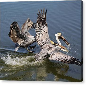 Pelican Fight Canvas Print by Paulette Thomas