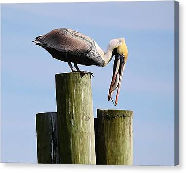 Pelican Fishing Canvas Print by Paulette Thomas