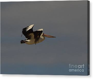 Canvas Print featuring the photograph Pelican In Flight 3 by Blair Stuart