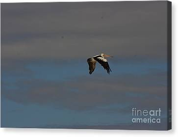 Canvas Print featuring the photograph Pelican In Flight 4 by Blair Stuart