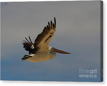 Canvas Print featuring the photograph Pelican In Flight 5 by Blair Stuart