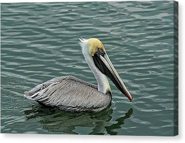 Pelican Out For A Swim Canvas Print by Sandra Anderson