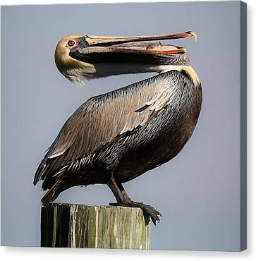 Pelican Perching Canvas Print by Paulette Thomas
