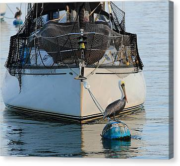 Canvas Print featuring the photograph Pelican Pose  by Coby Cooper