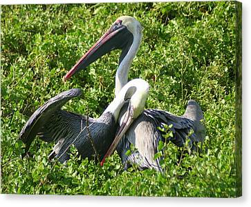 Canvas Print featuring the photograph Pelican Romance by Laurel Talabere