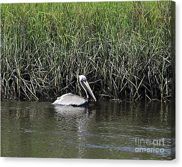 Pelican Swimming Canvas Print by Al Powell Photography USA