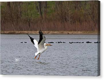 Pelican Take-off Canvas Print by Stephen  Johnson