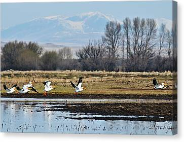 Pelicans In Flight Canvas Print by Greg Norrell