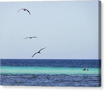 Pelicans In Flight Over Turquoise Blue Water.  Canvas Print