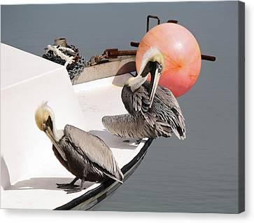 Pelicans Canvas Print by Paulette Thomas