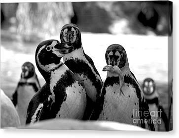 Penguins Canvas Print by Pravine Chester