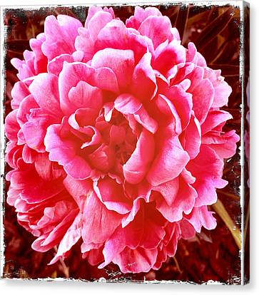 Peonie Canvas Print by Paul Cutright