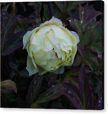 Canvas Print featuring the photograph Peony After The Rain by Jerry Cahill