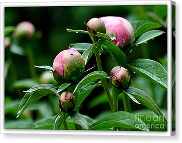 Canvas Print featuring the photograph Peony Buds by Tanya  Searcy