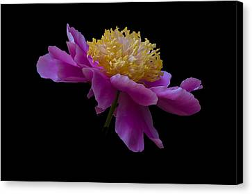Peony Number One Canvas Print