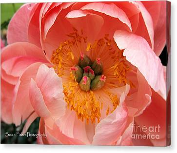 Canvas Print featuring the painting Peony Perfect by Susan Fisher