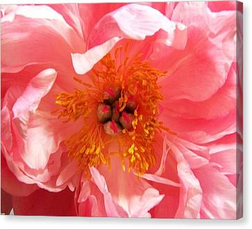 Peony Canvas Print by Peter Mooyman
