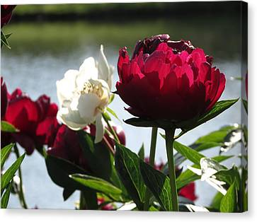 Canvas Print featuring the photograph Peony Sunlit by Rebecca Overton