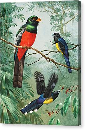 Perched And Flying Trogons Are Seen Canvas Print by Walter A. Weber