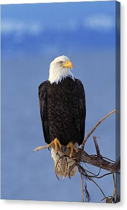 Perched Bald Eagle Canvas Print by Natural Selection David Ponton