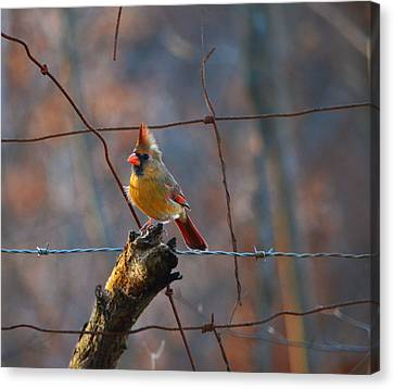 Canvas Print featuring the photograph Perched Cardinal by Brian Stevens