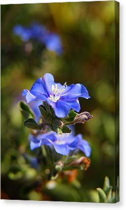 Perennial Blue Flower Canvas Print