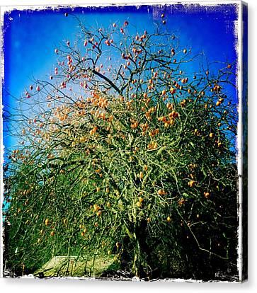 Persimmon Tree Canvas Print