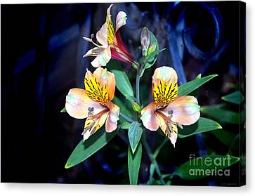 Peruvian Lily In My Garden Canvas Print