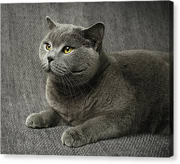 Pet Portrait Of British Shorthair Cat Canvas Print by Nancy Branston