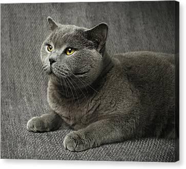 Pet Portrait Of British Shorthair Cat Canvas Print