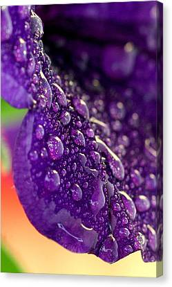 Canvas Print featuring the photograph Petunia Raindrops by Suzanne Stout