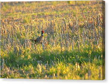 Canvas Print featuring the photograph Pheasant Into The Light by Shirley Heier