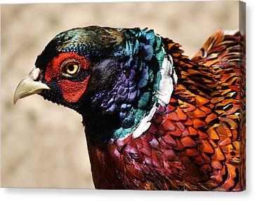 Pheasant Canvas Print by Paulette Thomas