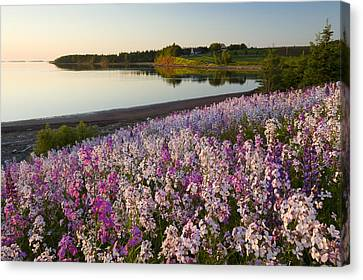 Phlox Flowers Growing On Banks Of New Canvas Print