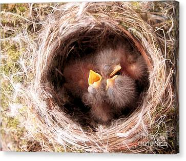 Phoebe Babies In Nest Canvas Print by Angie Rea