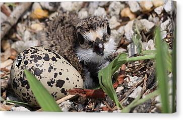 Killdeer Baby - Photo 25 Canvas Print