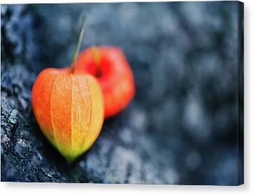 Physalis Alkekengi On Tree Bark Canvas Print by Alexandre Fundone