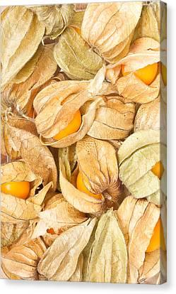 Perennial Canvas Print - Physalis by Tom Gowanlock
