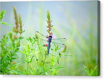 Picture Perfect Skimmer Dragonfly Canvas Print by Mary McAvoy