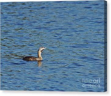 Pied-billed Grebe Looks Up Canvas Print by Lynda Dawson-Youngclaus