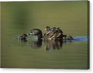 Pied Billed Grebe Parent With Two Canvas Print by Tim Fitzharris