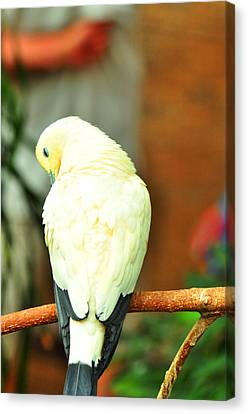 Canvas Print featuring the photograph Pied Imperial Pigeon by Puzzles Shum