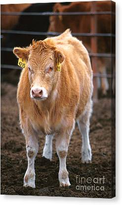 Piedmontese-hereford Crossbred Calf Canvas Print by Science Source