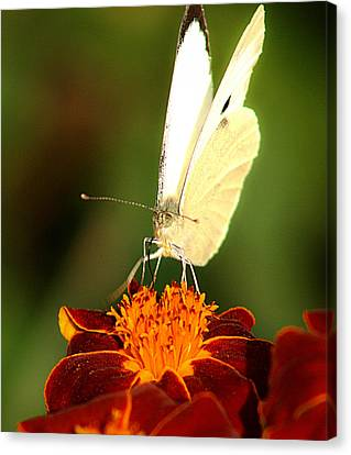 Pieris Brassicae Canvas Print by Emanuel Tanjala